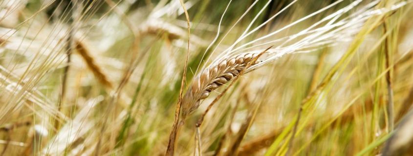 wheat background 1